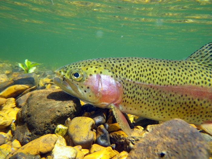 10 best lake taneycomo images on pinterest branson for Trout fishing in missouri