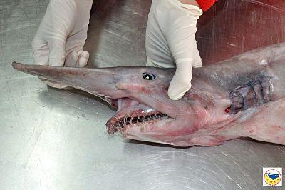 Tiburones en Galicia: Tiburón duende (Mitsukurina owstoni)