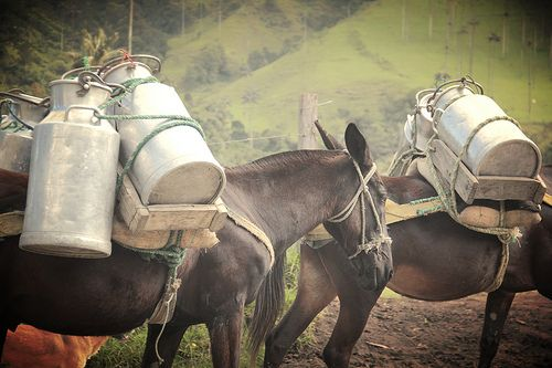 Mules and mountains. Colombia