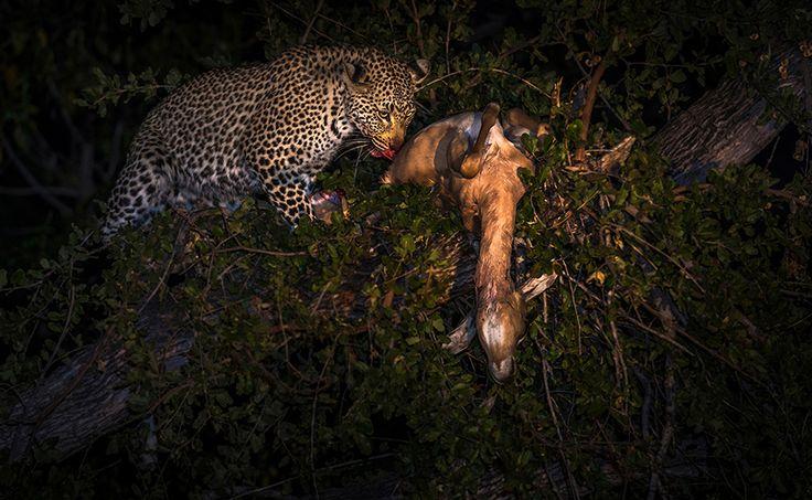 Leopard - I named this image (The kill at Sabi Sands) - copyrighted - bruna@thrumyafricanlens.co.za