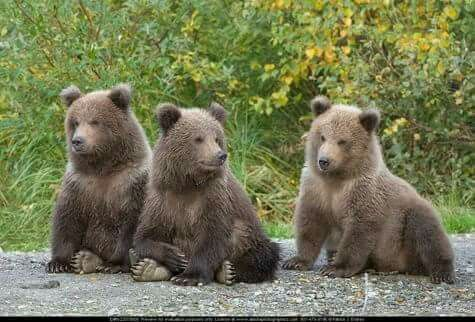 Three little brown bear cubs