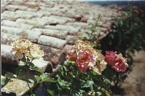 Roses and a rooftop. 35mm with Minolta x 570