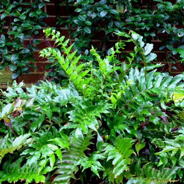 rare Japanese Holly Fern Cyrtomium Falcatum | Japanese Holly Fern (cyrtomium falcatum) | All about Greens | Pintere ...
