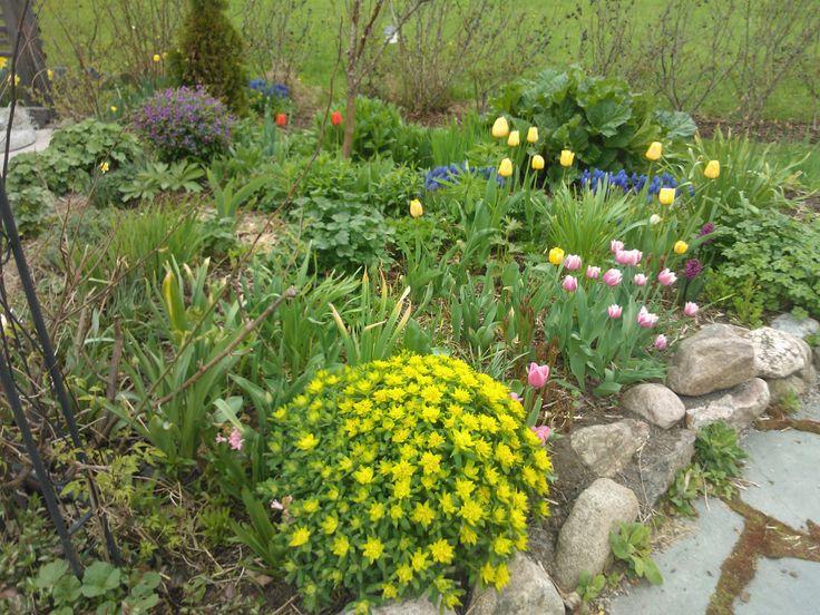 Keltainen kultatyräkki ja taustalla lila kevytlinnunherne. Toukokuu.