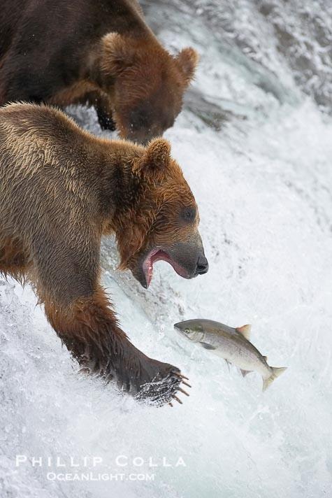25 best ideas about alaskan brown bear on pinterest for Bear catching fish