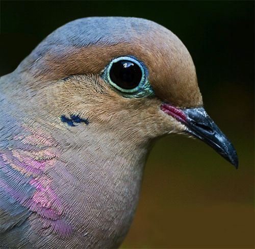 Mourning Dove, Zenaida macroura: External Attributes Of A Favorite Game Bird © Hilton Pond Center