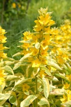 ... Loosestrife Can Be Used In Perennial Gardens And Landscape Plantings.  They Produce Showy Yellow Flowers During The Summer Months. Plant In Full  Sun.