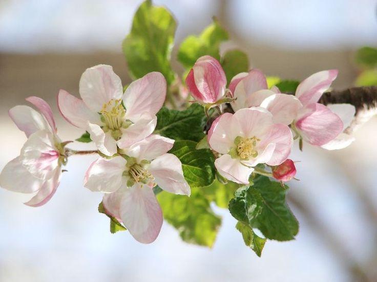 En güzel elbisesini giymiş pembe,beyaz elma çiçeği,duruyor masumca sanki güneşini bekler elma çiçeği. Günler geçer yıllar geçer öylece durur elma çiçeği..! #seda____ MUTLU AKŞAMLAR 😍