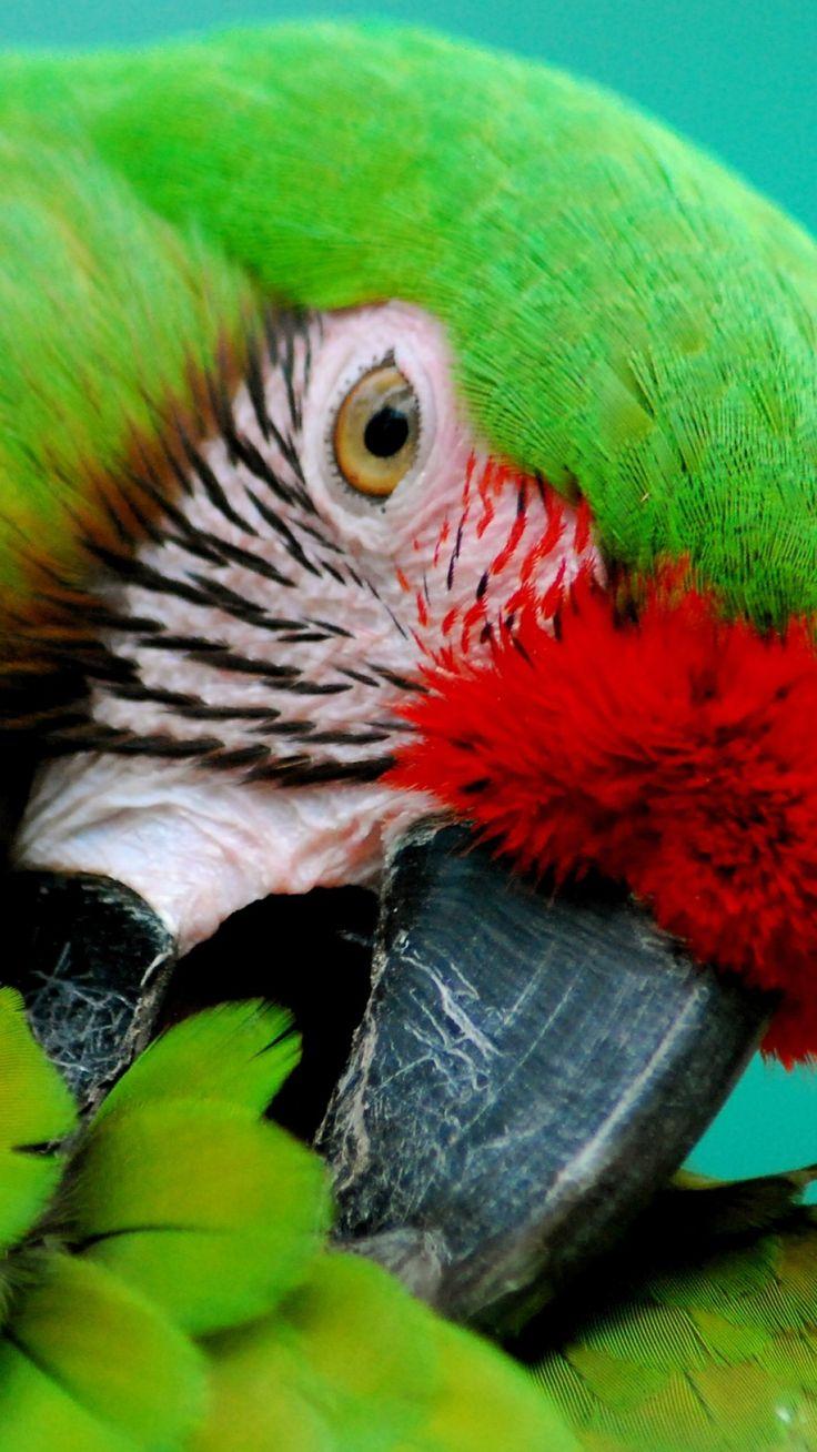 Macaws in Flight Wallpaper Parrots Animals Wallpapers in jpg