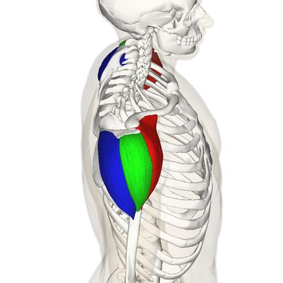 Deltoid muslce: Anterior (red) originates anterior border of lateral third of clavicle, Lateral (green) originates superior surface of acromion process, Posterior (blue) originates lower lip of scapular spine