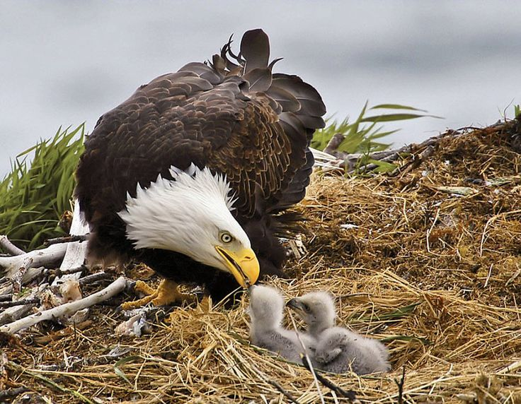 Bald eagles, Katmai, Alaska photo credit: John Hunter Hiding on a nearby cliff pays off with this a touching snapshot of a mother, feeding their chicks.
