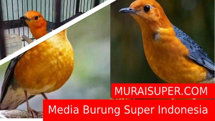 Suara Anis Merah Betina Birahi Download Sekarang Anis Merah Suara Burung Betina Burung Suara