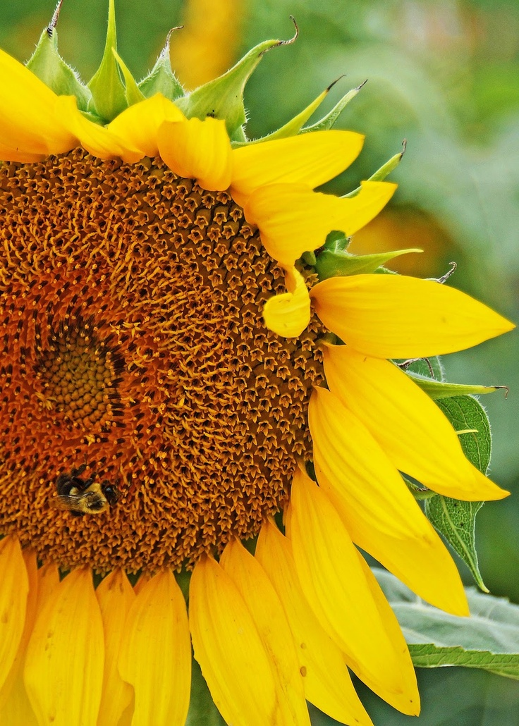 Why young sunflowers follow the sun