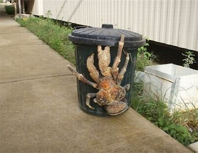 1. Coconut crabs can reach up to 3.3 feet wingspan (1 meter)