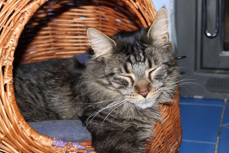 Katze  Cat Mainecoon