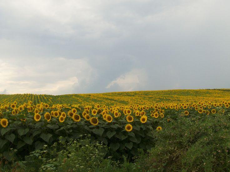 floare de soare