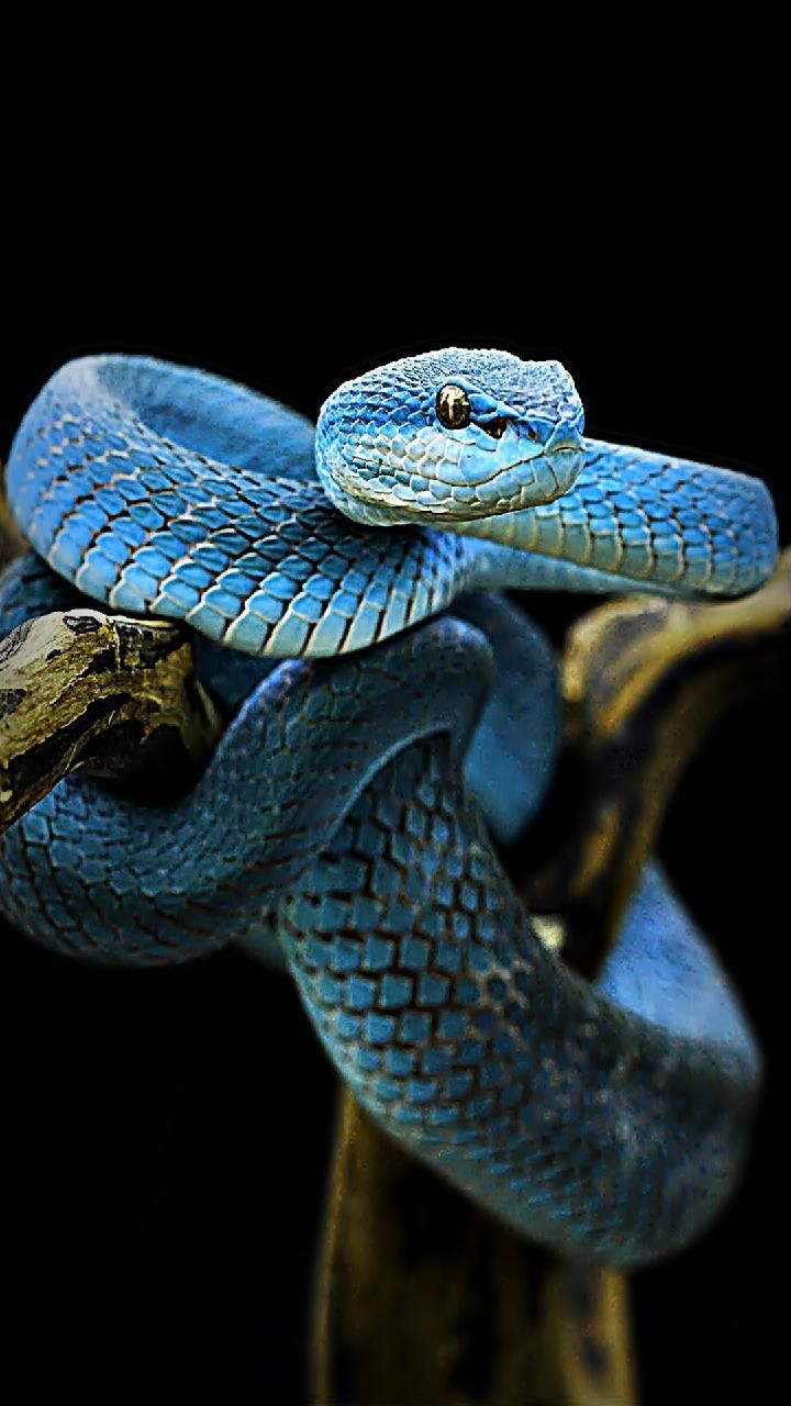 Download blue snake Wallpaper by susbulut 67 Free on