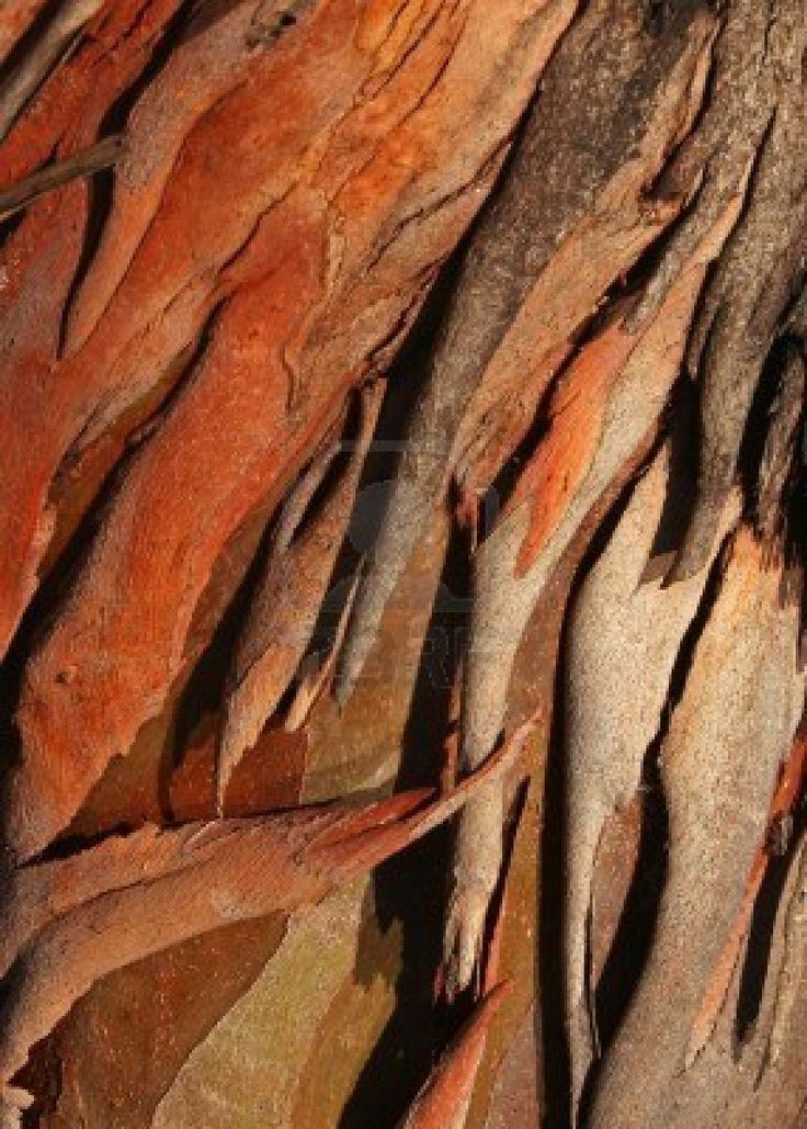 Textured eucalyptus tree bark