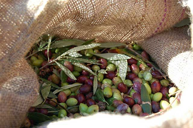 Olive Harvest in Crete!  Life on Crete is intricately connected to the olives; their sale, planting, irrigation, pruning, care, fertilising, ownership, preparation and harvesting!  www.cretetravel.com  #Olive  #Harvest #Crete #Olives   #Holidays    #winter   #Greece   #Travel