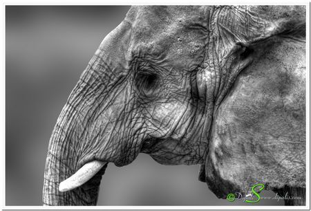 African elephant. Photo by Dipali S. -- National Geographic Your Shot