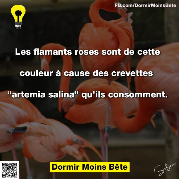 """Les flamants roses sont de cette couleur à cause des crevettes """" artemia salina"""" qu'ils consomment."""