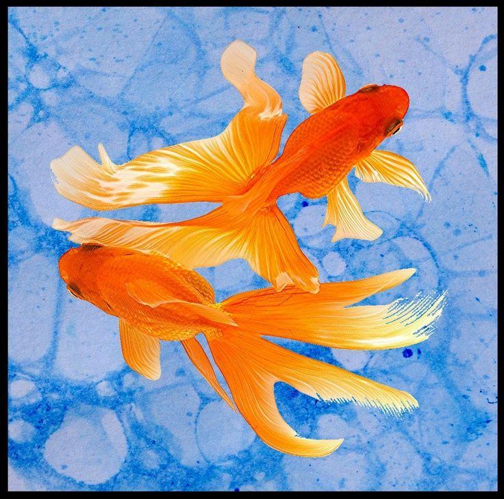 обаятельная девушка две золотые рыбки картинка составе справедливороссов числится