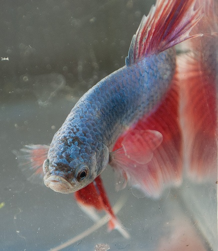 93 best images about beautiful betta fish and their homes for Healthy betta fish