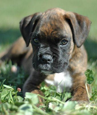 beautiful brindle boxer puppy :)