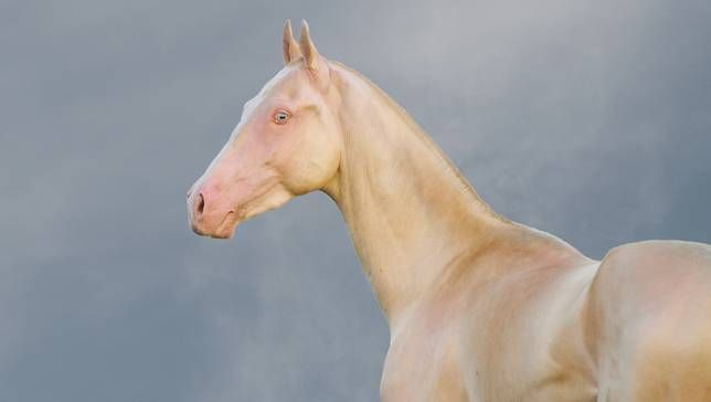 An Akhal-Teke stallion with perlino coloration shows off the metallic sheen in the coat that has made this breed famous