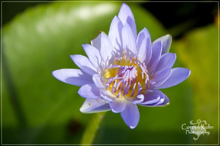 Water lily by CoreenKuhnPhotography