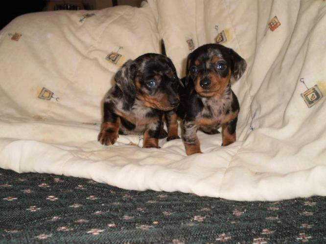Dogs Spots White Wiener Black