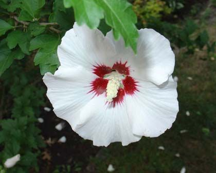 Hibiscus syriacus: An erect and bushy shrub with dark green leaves and large trumpet-shaped flowers of very pale pink with a deep red throat.  Flowers profusely, makes for a good background shrub or feature. It's particularly useful for poor soils with low fertility.   Can be partly deciduous in cooler climates.