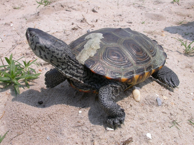 Watch for Terrapin's when you're driving or walking at the beaches!