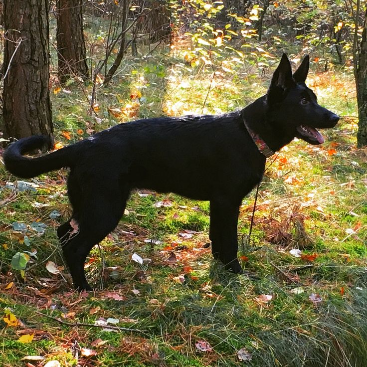 #black german shepherd #puppy # so sweet #black dog #love