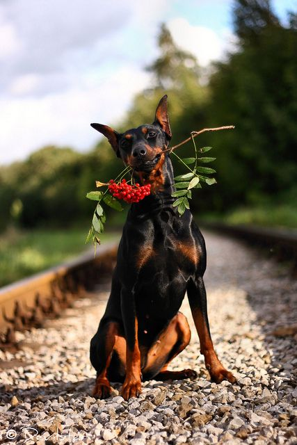 Flowers for a lady  Doberman