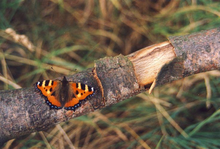 Kleiner Fuchs, Schmetterling - Foto: S. Hopp