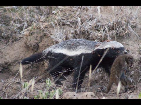 Honey Badger in Kruger Devours Mongoose