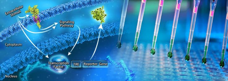 Our one-step LuciferaseReporterAssayKits provide complete systems for rapid, convenient, and quantitative detection of Renilla luciferase optimized for Abeomics reporter cell lines.