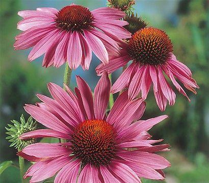 Sonnenhut bl te juli august sonnig und warmer standort - Zimmerpflanzen sonniger standort ...