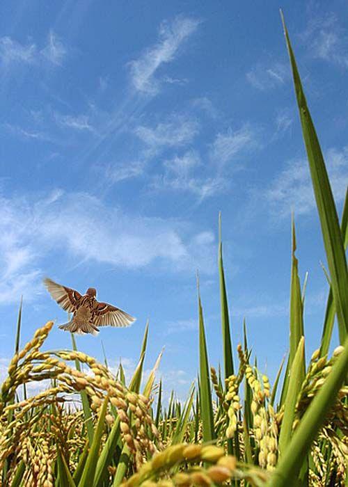 Paddy rice and sparow 稲雀 -