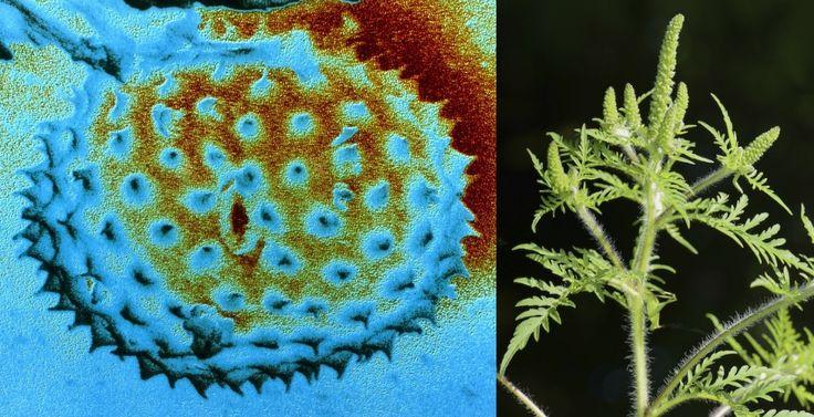 En köldtålig variant av Nordamerikas värsta växt för pollenallergiker är på väg hit. Ett allt mildare klimat ökar risken.