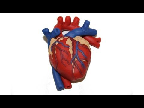 Cow Circulatory System Diagram 7 Ways To Ps4 Diy Anatomical Human Heart Polymer Clay Magnet Tutorial - Youtube | Vero ...