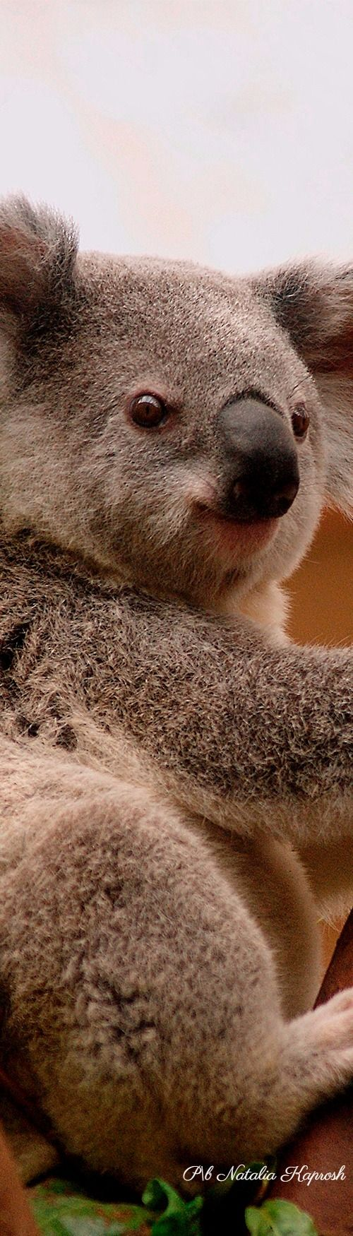 Nature Of Australia Koala