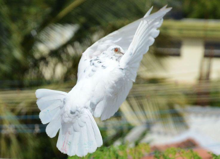 Dove by prabhuviswa