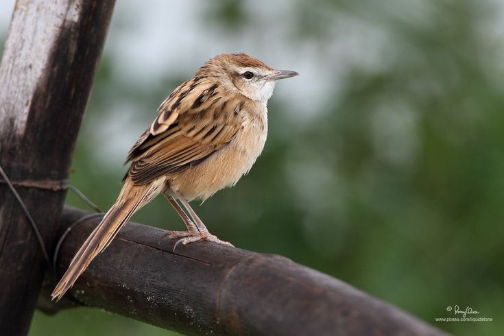 Tawny Grassbird (Megalurus timoriensis )