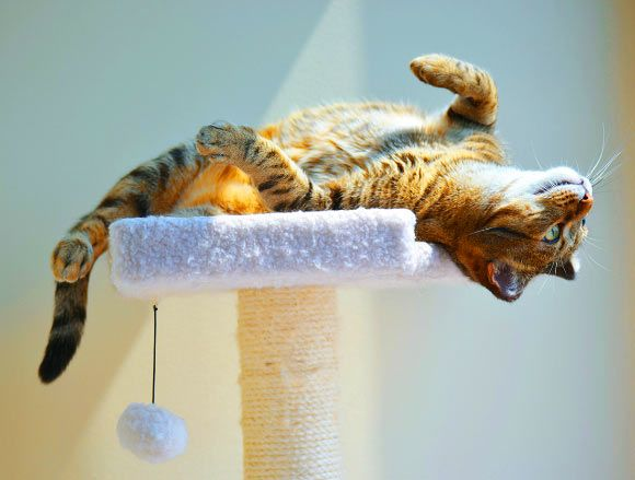 Study: Cats Understand Cause-Effect Principle, Elements of Physics Jun 15, 2016 by News Staff / Source