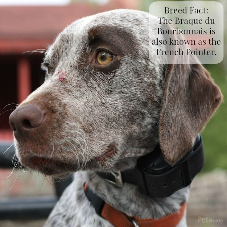 Hailing from France, the Braque du Bourbonnais is a type of pointer and makes a wonderful hunting dog.