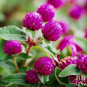 Globe Amaranth - late summer and fall blooms, butterflies LOVE it, drought tolerant.