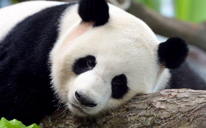 Indir duvar kağıdı Jiao Quing, panda, sevimli hayvanlar, Hayvanat Bahçesi, pandaların