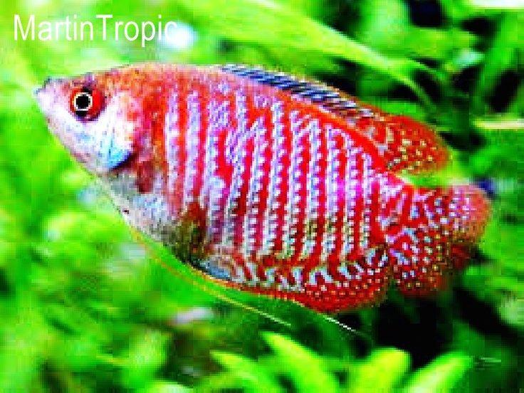Mejores 11 imágenes de Peces Tropicales en Pinterest | Tropical ...